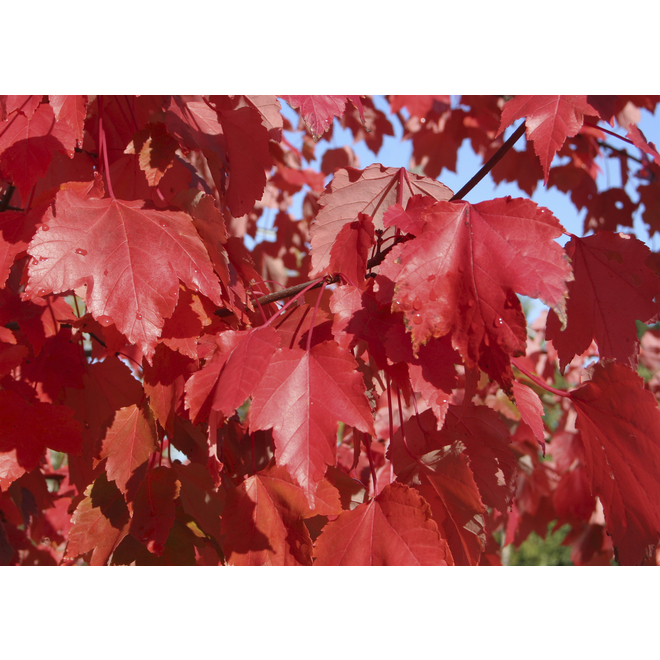 Autumn Blaze Maple Tree - 5 Gallons