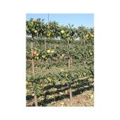 Pommier espalier, Green Plus, 10 gallons