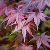 Japanese Maple - 3-Gallon Container