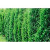 Cèdre de Brandon 2 gallons vert forêt