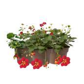 Scarlett Belle Strawberry Plant - 2-Quart Pot