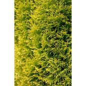 Thuja Highlights Cedar 7 Ga Yellow