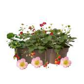 Rose Belle Strawberry Plant - 2-Quart Pot