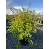 Physocarpe à feuilles d'obier Raspberry Lemonade, pot de 2 gal