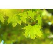 Érable October Glory, 5 gal, vert/rouge