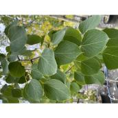 Trembling Aspen - Summer Shimmers - 5-gal. - Green