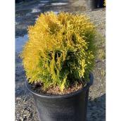 Harvest Moon Cedar - 2-gal Pot