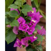 Bougainvillea Green Plus, pot de 1 gal, couleurs assorties