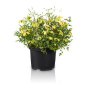 Green Plus Lemon Clematis - 1-Gal container