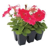 Annuals - Pack of 6 - Assorted Colours