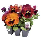 Pensée, Fernlea Flowers, couleur assortie