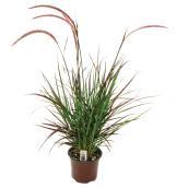 """Rubrum Grass - 6"""""""