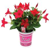 Dipladenia Rio, Fernlea Flowers 4,33 po couleurs assorties