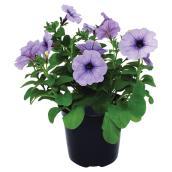Fleurs annuelles, 6