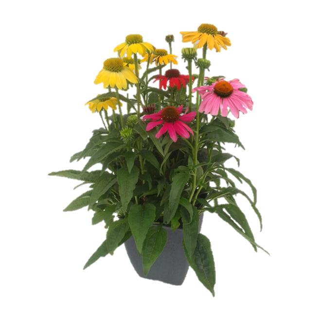 Plante échinacée en pot, 10 po couleurs assorties