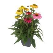 Plante échinacée en pot, couleurs assorties