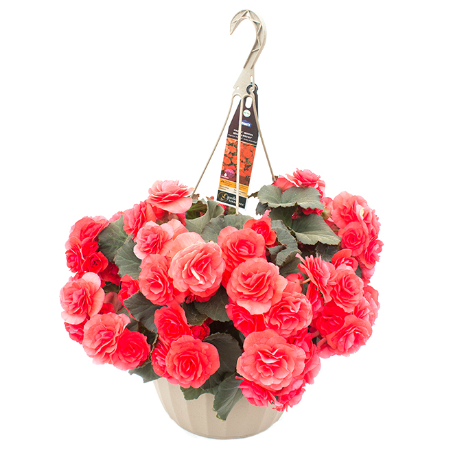 Begonia Solenia - 11-in Hanging Basket
