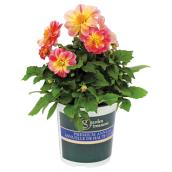 Assorted Dahlia - 1-Gallon Container