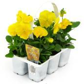 Pensées, Fernlea Flowers Glaçon, couleurs assorties paquet de 6
