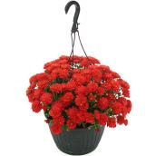 Fall Mums - 10-in Hanging Pot