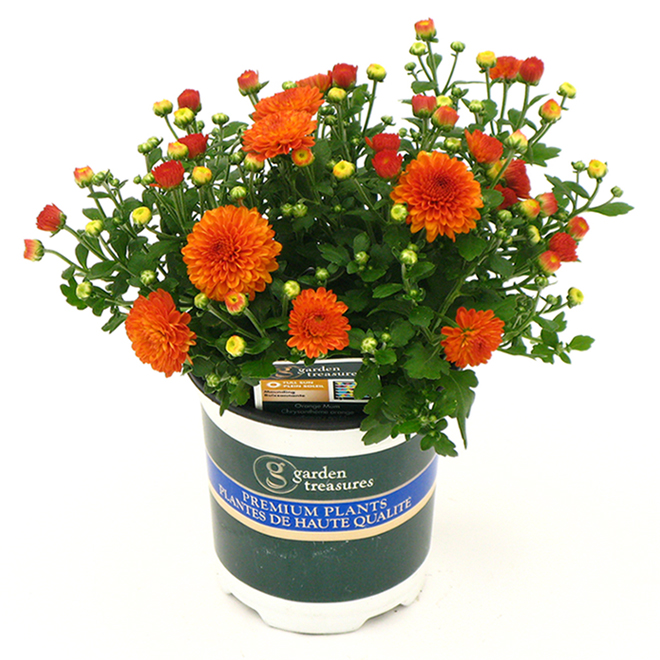Fall Mum in Assorted Colours