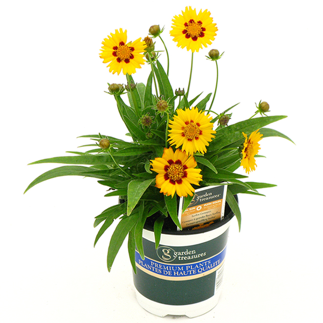 Coréopsis Sunfire automne, 1 quart couleurs assorties