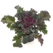 Fernlea Flowers Kale 4.5-in