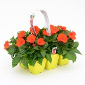 Impatiens SunPatiens, couleurs assorties, paquet de 6