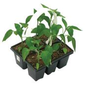 Vegetable Plant - 6-Pack