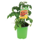 Vegetable Plant - Assorted - 4.7'' Pot