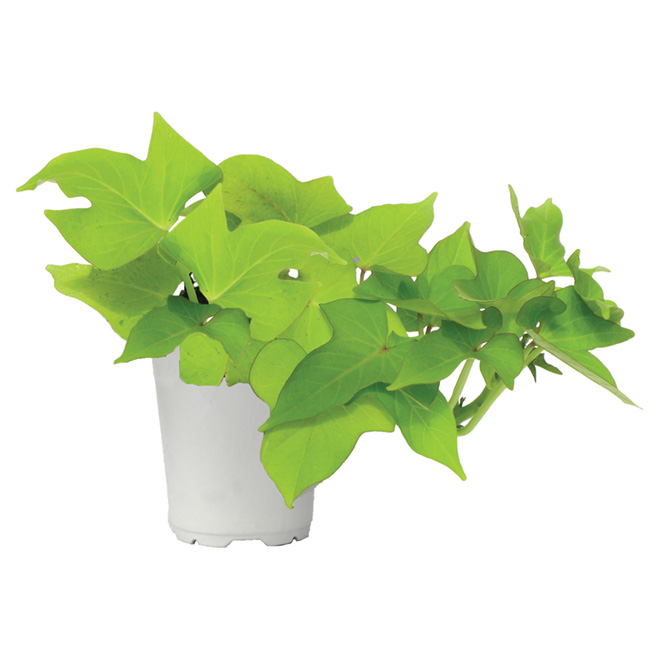 Assorted annual plants - 3.5'' Pot