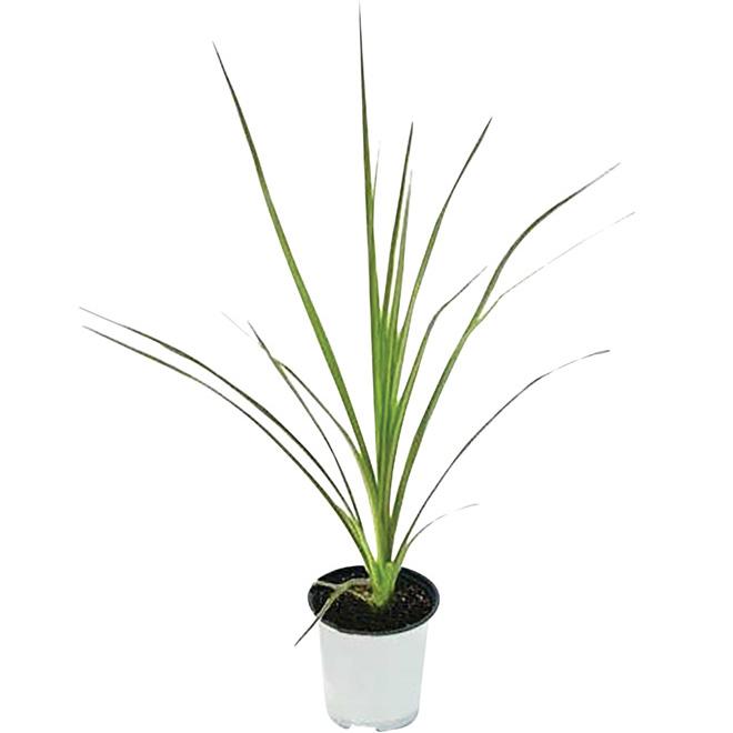 Plante accent assortie, 3,5''