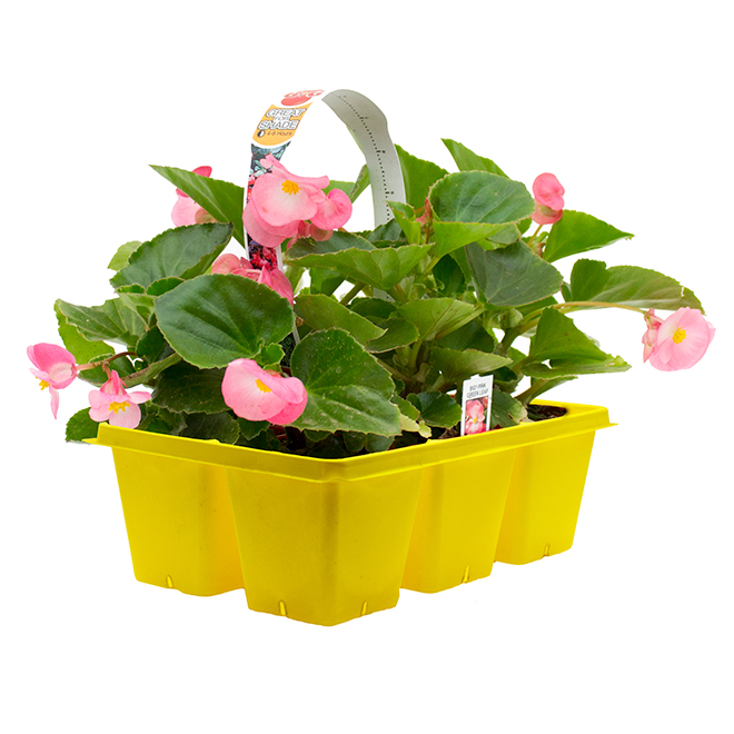 Annuelles premium, Garden Treasure, paquet de 6 couleurs assorties