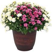 Chrysanthème d'automne tricolore de 12 po, couleurs assorties