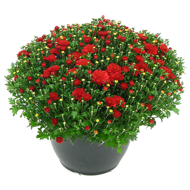 Fall Mum - 10-in Planter