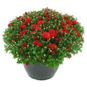 Chrysanthème d'automne, jardinière de 10 po