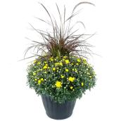Fall Mum - 13-in Planter