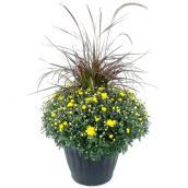 Chrysanthème d'automne, jardinière de 13 po