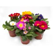 4.3-in Potted Primula - Assorted Color