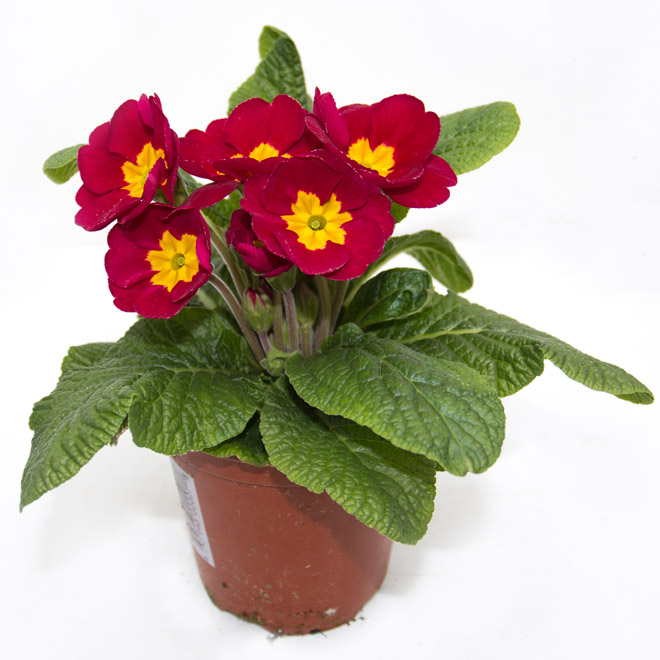 Primula en pot de 4.3 po, couleurs assorties