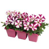 Petunias «Wave» assorties, 6/pqt