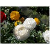 Ranunculus, 4 po, couleurs assorties