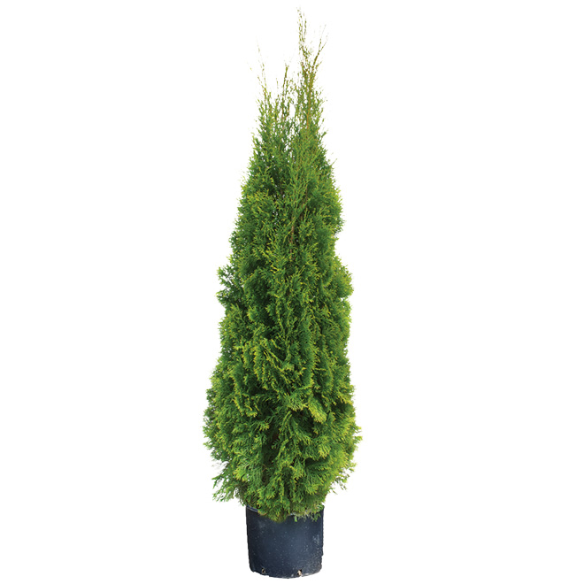 Assorted Cedars - 4' to 5'