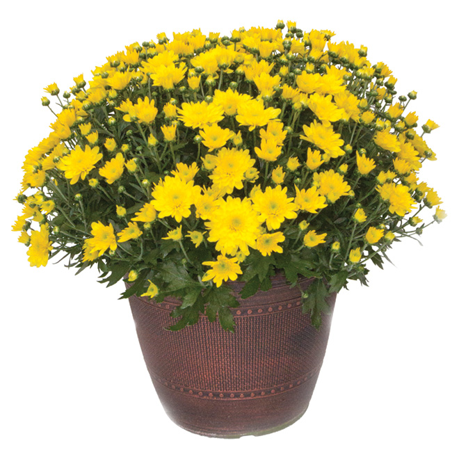 Fall Mum - 10-in Planter - Assorted Colours