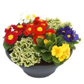 "Assorted Primula Bowl - 12"" Pot"