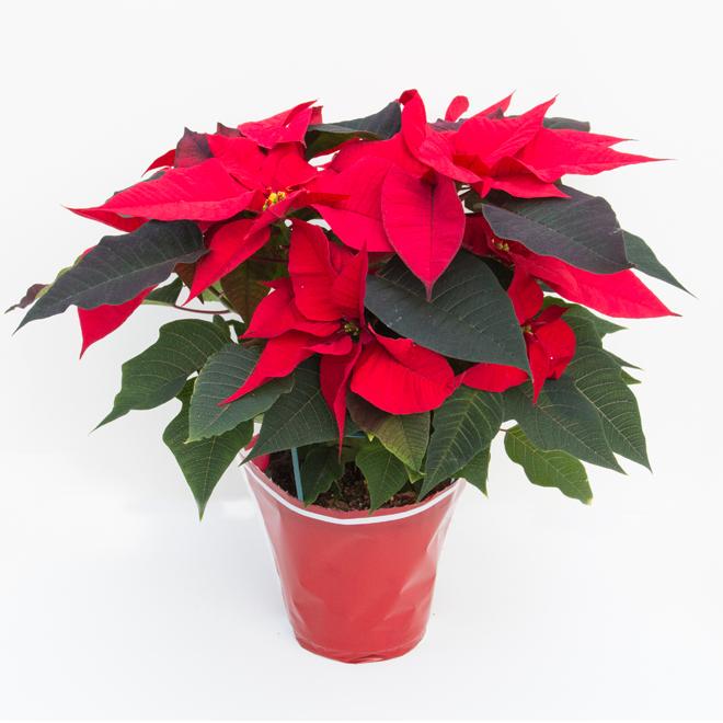 Poinsettia, Devry Greenhouse, 6 po rouge