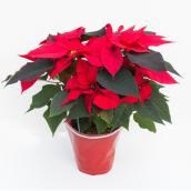 Poinsettia assorti, Devry Greenhouse, 6 po rouge
