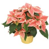 Devry Greenhouse Poinsettia - 6-in - Assorted