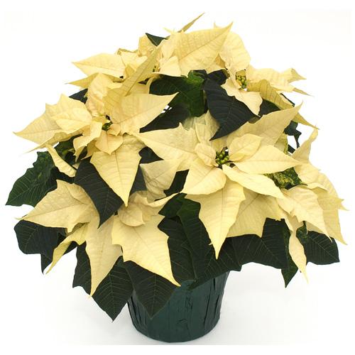 """Poinsettia 6,5"""" assortis"""