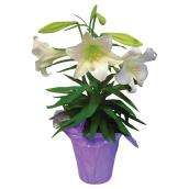 Easter Lily - 6-in Pot